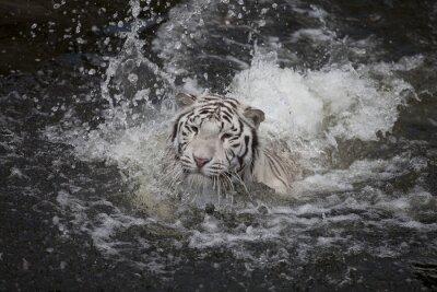 Bild Schwimmen weißen Tiger