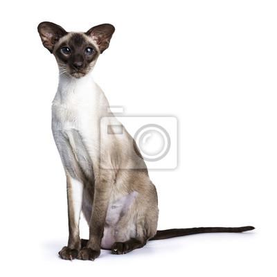 Seal Point Siamese Katze sitzen Seitenwege isoliert auf weißem Hintergrund Blick in die Kamera