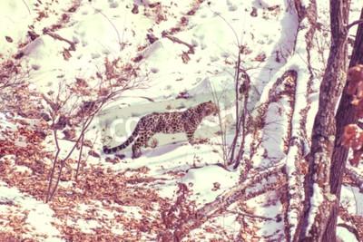 Bild seaside Leopard, aggressive animal walks on snowy ground, big beautiful striped Leopard. Winter
