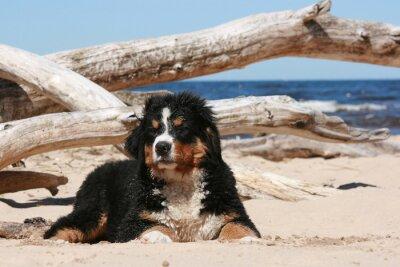 Bild Sennenhund Welpen