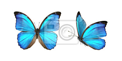 Bild Set two beautiful blue tropical butterflies with wings spread and in flight isolated on white background, close-up macro.