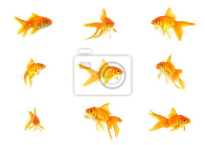 Bild Set von Goldfischen