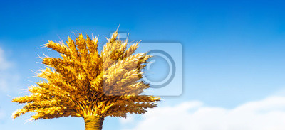 Bild Sheaf of wheat ears isolated on blue background.The concept of a rich harvest, yellow ripe ears of corn against the blue sky with space for text, banner.