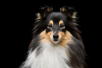 Bild Sheltie Hund