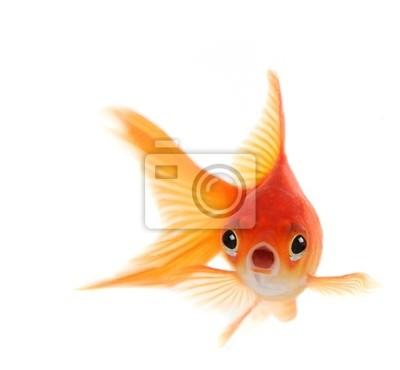 Bild Shocked Goldfish auf weißen Hintergrund