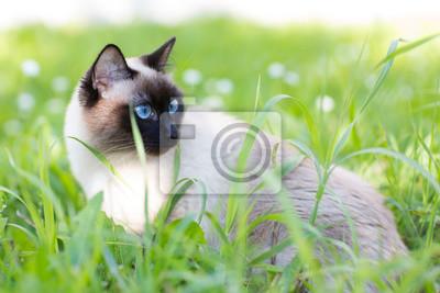 Siamesische Katze im Gras mit blauen Augen