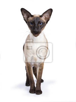 Siamesische Katze stand frontal isoliert auf wite Hintergrund