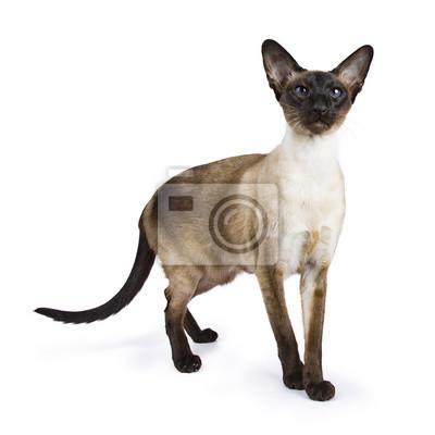 Siamesische Katze stehend Seite Wege isoliert auf wite Hintergrund