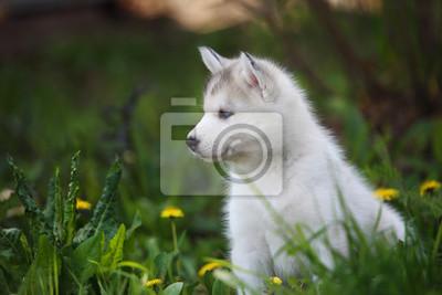 Husky Retro Kühlschrank : Siberian husky welpen auf weißem holz kulisse fototapete