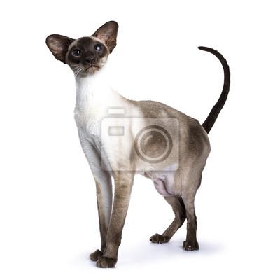 Siegelpunkt Siamesische Katze steht isoliert auf weißem Hintergrund