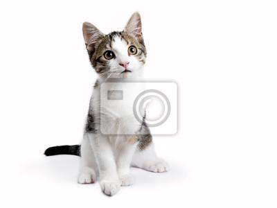 Sitzen european shorthair Kätzchen auf weißem Hintergrund
