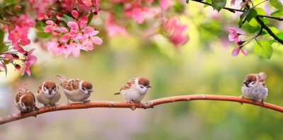 Bild small funny Sparrow Chicks sit in the garden surrounded by pink Apple blossoms on a Sunny may day
