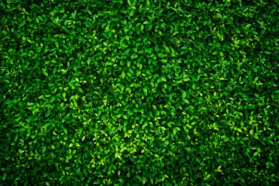 Bild Small green leaves texture background with beautiful pattern. Clean environment. Ornamental plant in the garden. Eco wall. Organic natural background. Many leaves reduce dust in air. Tropical forest.