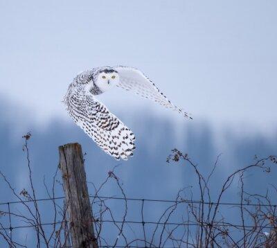 Bild Snowy-Eule im Flug