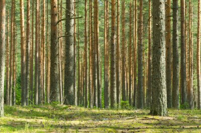 Bild Sommer Pine Forest