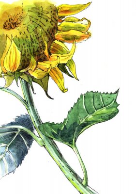 Bild Sonnenblume, Aquarell