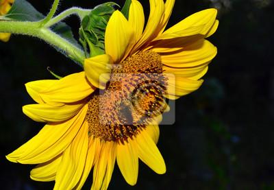 Sonnenblumen auf einem dunklen Hintergrund