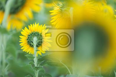Sonnenblumen clouse oben.