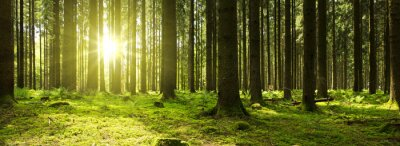 Bild Sonnenlicht im grünen Wald.