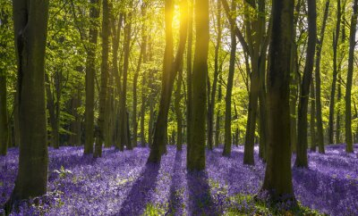 Bild Sonnenlicht wirft Schatten über Bluebells in einem Holz