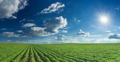 Bild Soybean fields rows in summer season