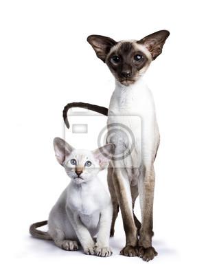 Stehend siamesischen erwachsenen Katze mit Kätzchen sitzt neben ihm isoliert auf weißem Hintergrund