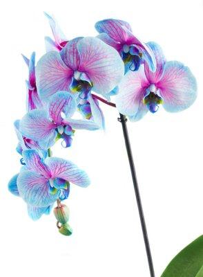 Bild Stiel der blauen Orchideen