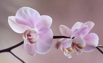Bild Storczyki - Orchidea
