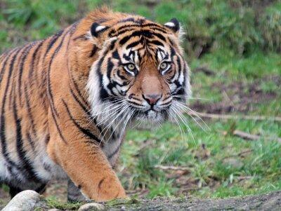 Bild Sumatra Tiger