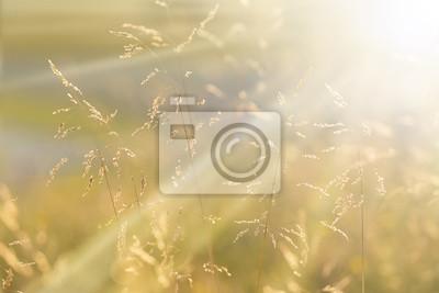 Sunny goldenen Farbe Wiese Gras am Sonnenuntergang mit Sonnenstrahlen. Golden und gelb orange Farbe Landschaft Wiese closeup. Geringe Tiefenschärfe verwendet.