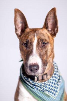 Bild süßer Hund mit Halstuch schaut am Betrachter vorbei