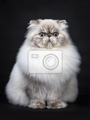 Tabby-Punkt Persische Katze sitzt auf schwarzem Hintergrund isoliert