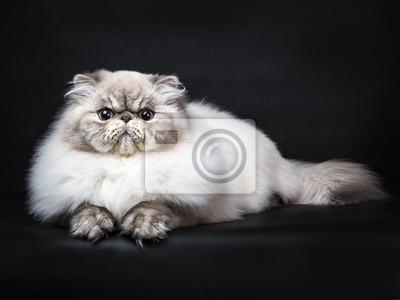 Tabby-Punkt Persische Katze Verlegung isoliert auf schwarzem Hintergrund
