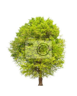 Tamarindenbaum (Tamarindus indica) tropischer Baum im Nordosten