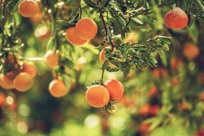 Bild Tangerine sunny garden