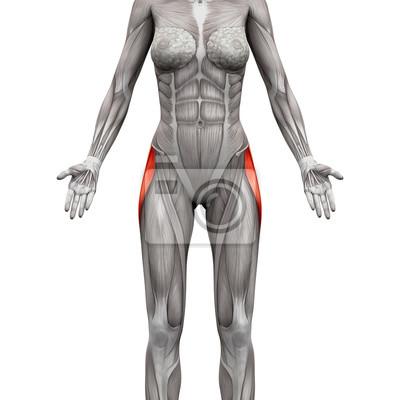 Tensor fasciae latae muskel - anatomie muskeln isoliert auf weiß ...