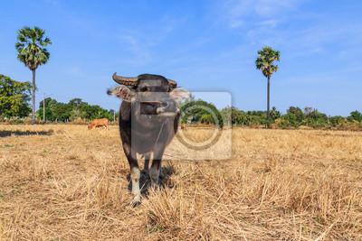 Thai Büffel im Feld mit blauem Himmel