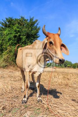 Thai Kuh auf dem Feld mit blauem Himmel