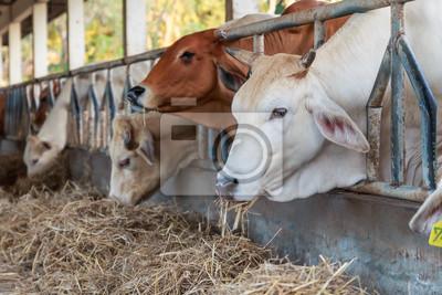 Thai Kühe füttern Heu in der Farm