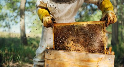 Bild The beekeeper pulls out a frame with honey from the beehive.