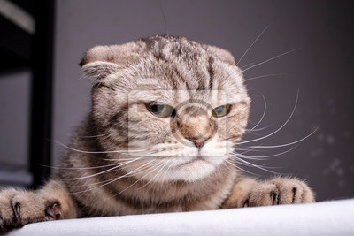 Bild Thoroughbred dissatisfied cat Scottish Fold is on the table and evil looks. Close-up.