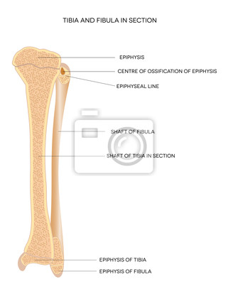 Tibia und fibula. beinknochen. leinwandbilder • bilder Gebärmutter ...
