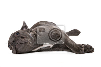Bild Tired french bulldog lying on white background