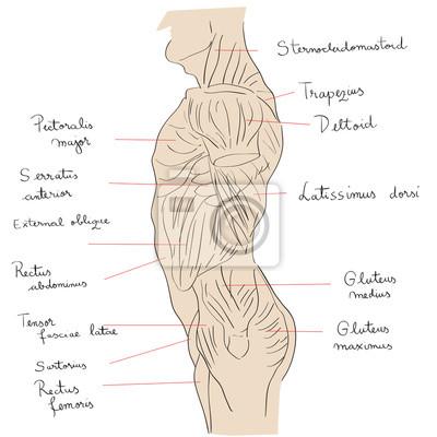 Torso muskeln seitentext leinwandbilder • bilder deltoid, dorsal ...