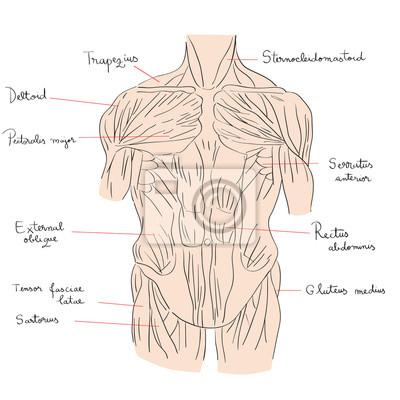 Torso muskeln vorderfarbe leinwandbilder • bilder deltoid, dorsal ...