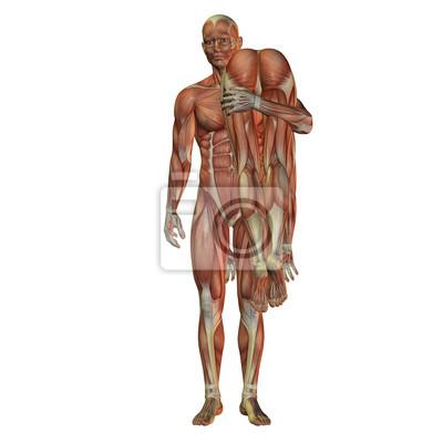 Tragt mann frau - menschlichen muskulatur leinwandbilder • bilder ...