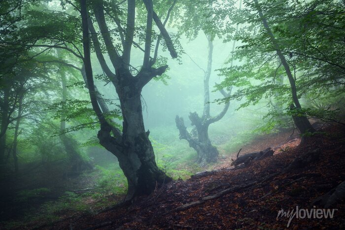Bild Trail durch einen geheimnisvollen dunklen alten Wald im Nebel. Herbst
