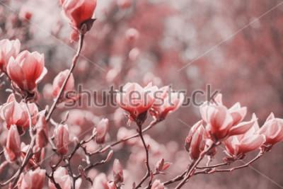 Bild Trendfotografie zum Thema der neuen Farbe des Jahres 2019 - Living Coral. Frühlingsmagnolienblumen auf dem natürlichen Hintergrund.