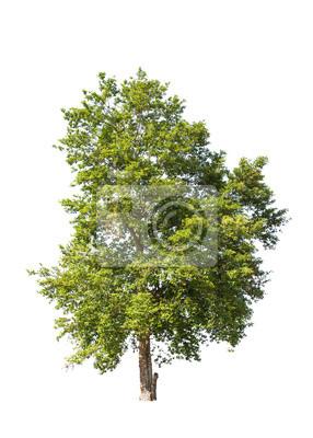 Tropical Baum im Nordosten von Thailand