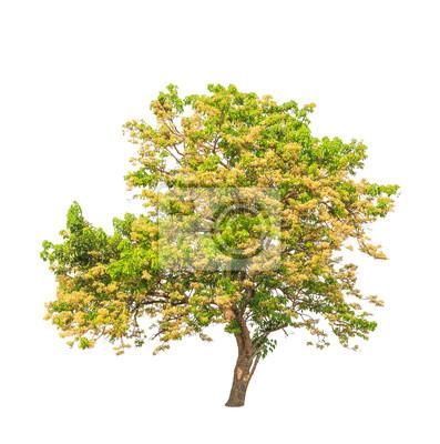 Tropische Baum im Nordosten von Thailand